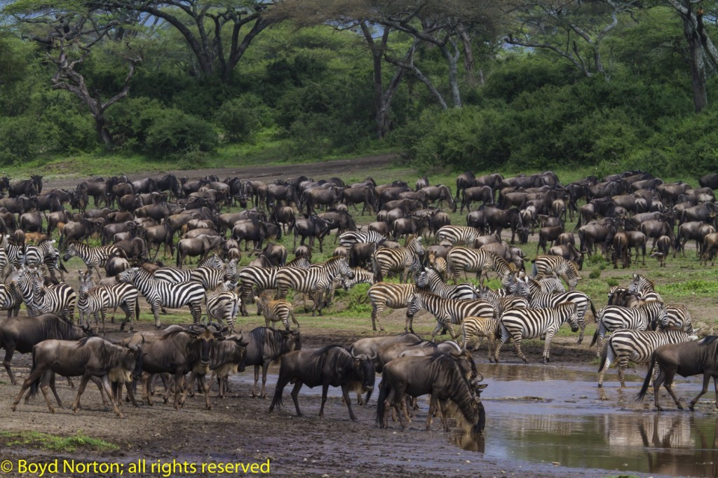 Norton-Serengeti-wildebeest7688-1024x682